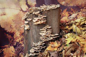 Read more about the article Wrośniak różnobarwny (Trametes versicolor) – cenny grzyb leczniczy